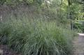 Andropogon gerardii shrub.png