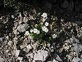 Androsace lactea.jpg