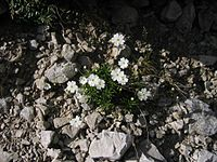 Androsace lactea