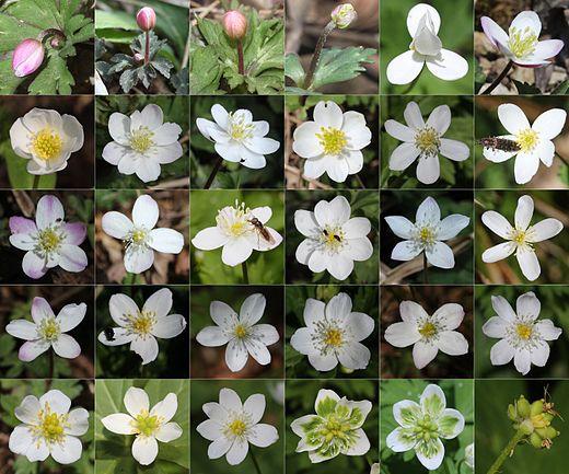 Anemone flaccida (Montage of flower s30).jpg