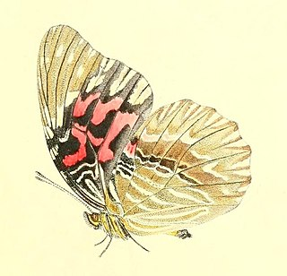 <i>Anetia thirza</i> species of insect
