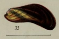 Angas1871 pl1 fig33 Xenostrobus securis.png