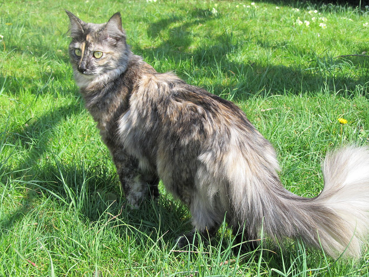 Black Siberian Cat Price