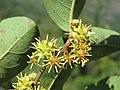 Anogeissus latifolia at Masinagudi (1).jpg