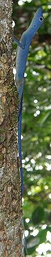 Anolis gorgonae.