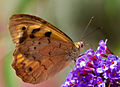 Another Holiday Butterfly (5464295149).jpg