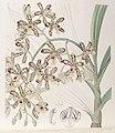 Ansellia africana - Edwards vol 32 (NS 9) pl 30 (1846).jpg
