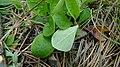 Antennaria racemosa 3.jpg
