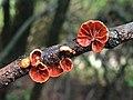 Anthracophyllum discolor (Mont.) Singer 1951 887012.jpg