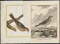 Anthus plumatus - 1700-1880 - Print - Iconographia Zoologica - Special Collections University of Amsterdam - UBA01 IZ16300167.tif