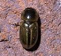 Aphodius pseudolividus P1450141a.jpg