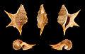 Aporrhais senegalensis 01.JPG