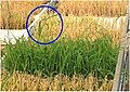 Appearance-of-reverse-flow-seedlings-after-herbicide-treatment.jpg