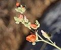 Apricot mallow bud branch.jpg