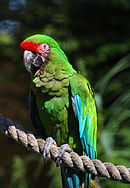A green parrot with a black beak, a light-pink face, a red forehead, and blue-tipped wings