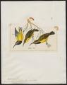 Arachnothera australis - 1820-1860 - Print - Iconographia Zoologica - Special Collections University of Amsterdam - UBA01 IZ19000177.tif