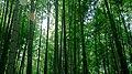 Arashiyama Trees (44075042).jpeg