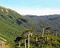 Araucaria araucana - Parque Nacional Conguillío por lautaroj - 002.jpg