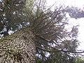 Arboretum des Barres - Cedrus atlantica fastigiata.JPG
