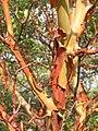 Arbutus andrachne bark (Ab plant 99).jpg