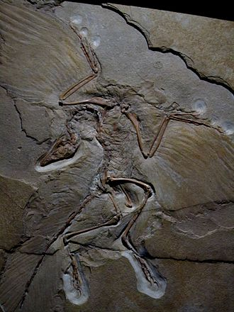 Parental care in birds - Archaeopteryx fossil in the Museum fur Naturkunde, Berlin, Germany