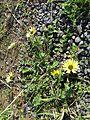 Arctotheca calendula plant7 NC - Flickr - Macleay Grass Man.jpg