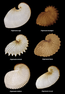 Argonauta species.PNG