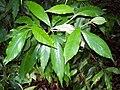 Argophyllum nullumense Coffs.jpg