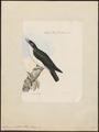 Artamus chabert - 1868 - Print - Iconographia Zoologica - Special Collections University of Amsterdam - UBA01 IZ16400137.tif