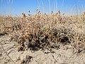 Artemisia pedatifida.jpg