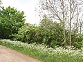 Ash, hawthorn and cow parsley - geograph.org.uk - 429663.jpg