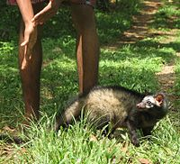 Asian Palm Civet with Human.jpg