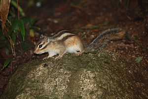 Siberian chipmunk - Siberian chipmunk with its long tail clearly visible