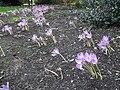 Asparagales - Crocus vernus 6.jpg