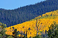 Aspen and Ponderosa Pine on mountainside (3972231582).jpg