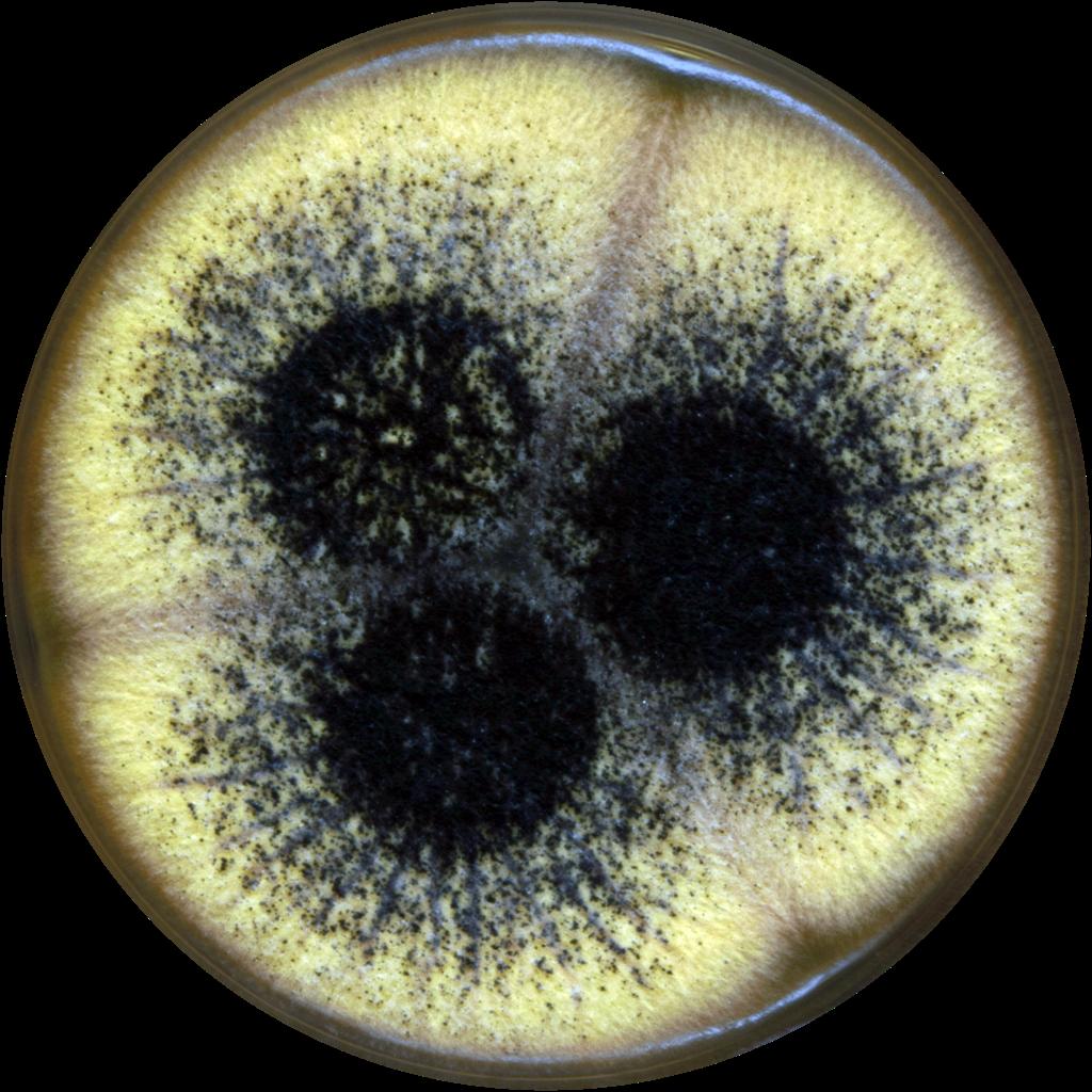 Egysejtű gombák és azok szerepe a természetben