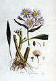 Aster tripolium — Flora Batava — Volume v2.jpg