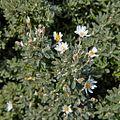 Asteraceae sp.-CTJ-IMG 7224.jpg