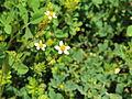 Asteraceae sp.-IMG 6919.JPG