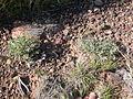 Astragalus calycosus (3746351974).jpg