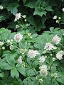 Astrantia major02.jpg