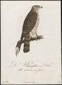 Astur palumbarius - 1800-1812 - Print - Iconographia Zoologica - Special Collections University of Amsterdam - UBA01 IZ18300019.tif