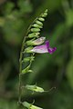 Asystasia dalzelliana-Kadavoor-2016-02-07-001.jpg
