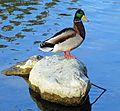 At the Quack of Dawn, Ford Park 3-16 (25404678983).jpg