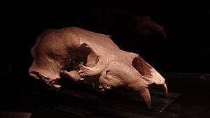 Ursus deningeri - Skull from Atapuerca