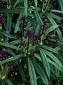 Aucuba himalaica dolichophylla - Flickr - peganum (4).jpg