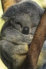 Australia Zoo baby Koala asleep-1 (18173740872).jpg