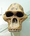 Australopithecus africanus skull.jpg