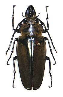 Trictenotomidae family of insects