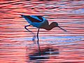 Avocet in Sunset Reflection 1 (26131350683).jpg